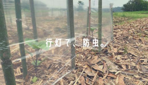 素人の野菜づくり(虫対策②:竹とビニール袋で行灯を作ってみた)